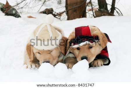 golden retriever puppies in the snow. golden retriever puppies