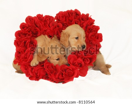 two adorable golden retriever puppies sitting inside heart made of roses