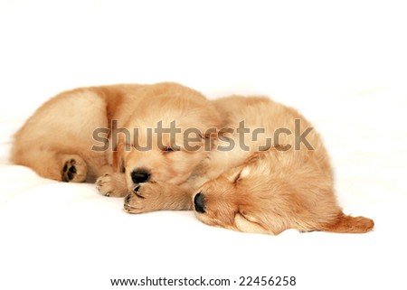golden retriever puppy sleeping. golden retriever puppies