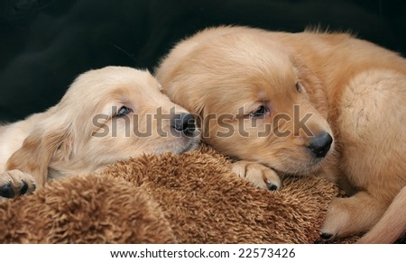 golden retriever puppies. golden retriever puppies