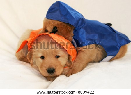 two adorable golden retriever puppies wearing raincoats - stock photo