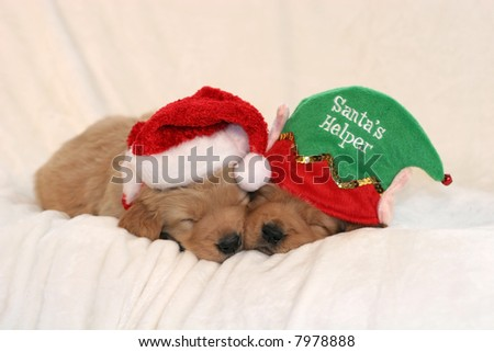 two adorable golden retriever puppies with santa hat and santa's helper hat