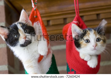 two adorable kittens in Christmas stockings on the mantle