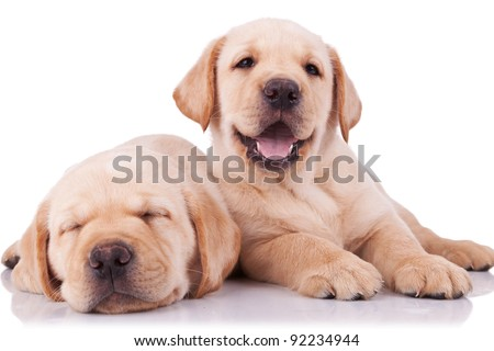 two adorable little labrador retriever puppies, one sleeping and one panting and looking to the camera