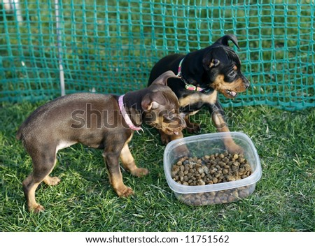 two adorable miniature pinscher puppies in enclosed area with bowl of food - stock photo
