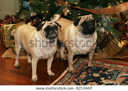 two adorable pug dogs standing near christmas tree