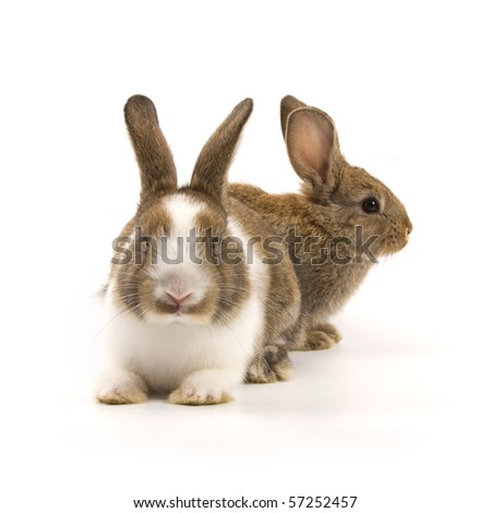 Two adorable rabbits isolated on a white background