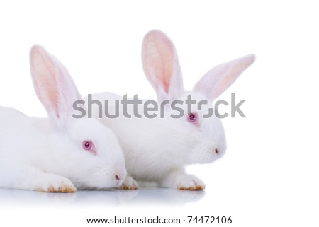 Two adorable white rabbits. Easter bunnies, isolated on white.