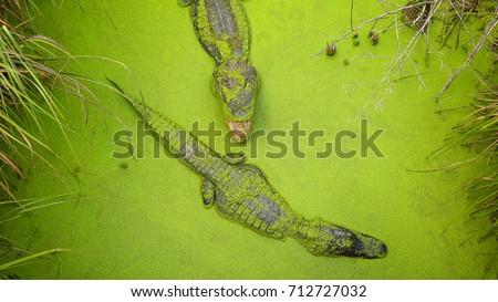 two adult alligators swimming...
