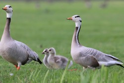 Two adult Bar-headed geese (Anser indicus) with goslings