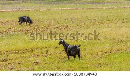 Two adult black Bengal goats with collars around their neck in an open field. #1088734943