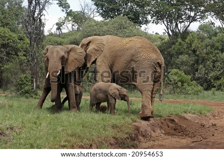 Two adult elephants with two calves. One calf is suckling.