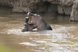 Two adult hippos fighting in a Kenyan river in the afternoon