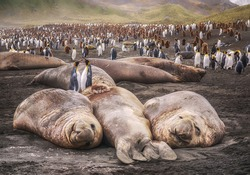 Two adult king penguins stand between large elephant seals lying on a black sand beach at Gold Bay on South Georgia Island in the South Atlantic Ocean.