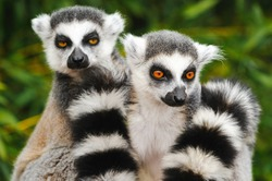 Two adult lemur katta (Lemur catta)