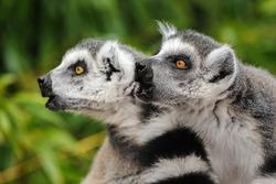 Two adult lemurs katta (Lemur catta) calling others group members