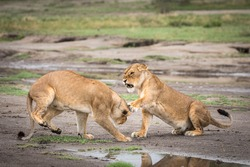 Two adult lionesses showing aggression to each other in muddy plains of Ndutu in Tanzania