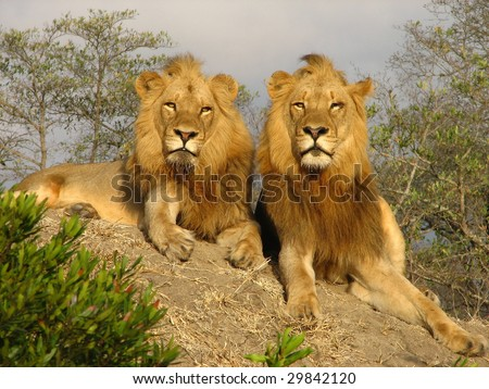 stock photo : Two adult male Lions survey their kingdom