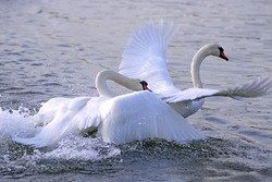 Two adult Mute Swan fighting , chasing each other in the water.