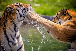 Two adult tigers at play in the water