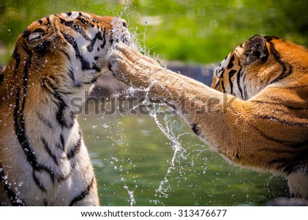 Two adult tigers at play in the water #313476677