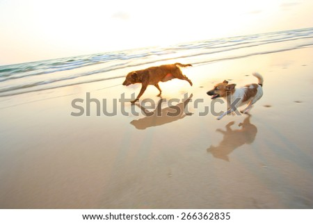 Two adventure dogs running on the beach with sunset. -- motion blur