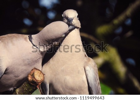 Two Affectionate Doves      #1119499643