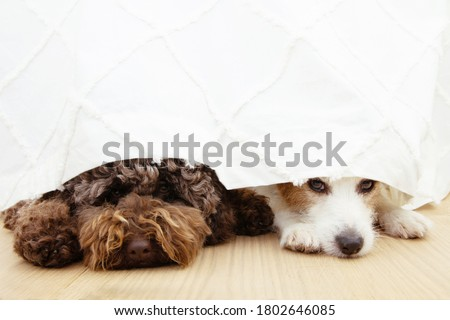 Two afraid or scared dogs below a curtain because of fireworks, thunderstorm, loud noises or separation anxiety. Photo stock ©