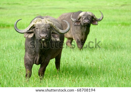 Two african buffaloes in a field of grass. The photo is taken in Ngorongoro, Tanzania