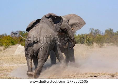 Two African Bull Elephants fighting in the Savuti region of northern Botswana.(Loxodonta africana) Stock photo ©