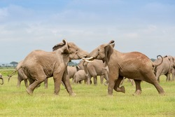 Two African elephant (Loxodonta africana) bulls fighting for dominance over herd, Amboseli national park, Kenya.
