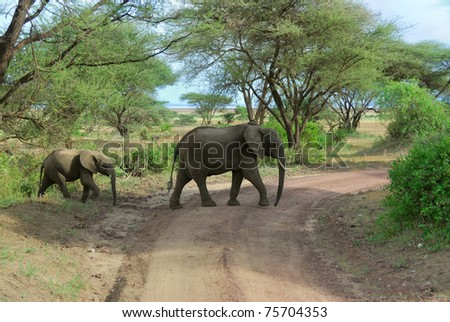 Two African elephants are crossing a dirty road