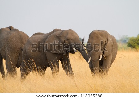Two African elephants play fighting in tall grass