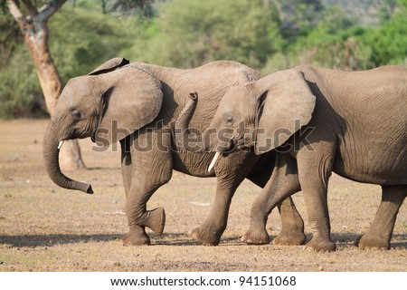Two african elephants walking next to each other and curling their trunks