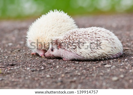 two african hedgehogs together