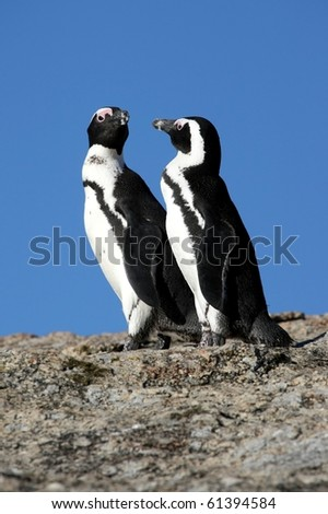Two African or Jackass penguins in South Africa