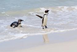 Two African penguin, jackass penguin, black-footed penguin (Spheniscus demersus), leaving ocean to beach, Boulder beach, South Africa