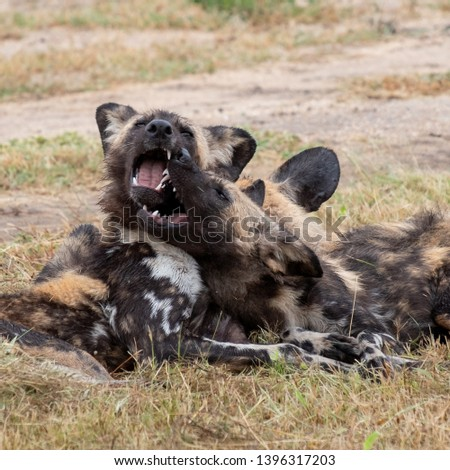 Two African wild dogs playing, part of a larger pack photographed at Sabi Sands Game Reserve which has an open border with the Kruger National Park, South Africa.