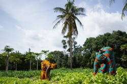 Two African Women Weeding A Salad Plantation In a West African Farming Village
