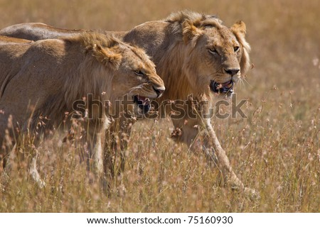 Two aggresive lions hunting in the masai mara
