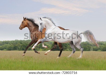 two akhal-teke horses on the field
