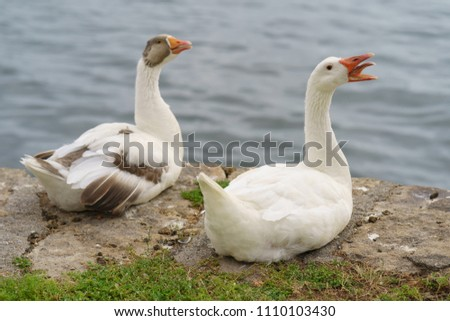 Two alarming white wild geese sitting on the embankment. One of them opened his beak, One of them opened his orange beak. He is screaming. His tongue is orange too. - Shutterstock ID 1110103430