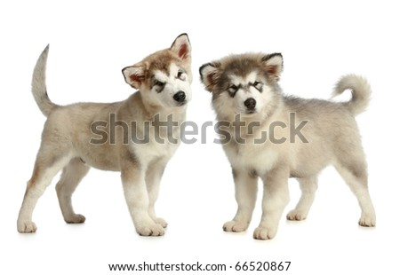 Two Alaskan Malamute breed puppy (3 months) on a white background