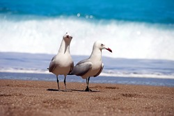 Two albatrosses on sandy beach in front of blue water and waves
