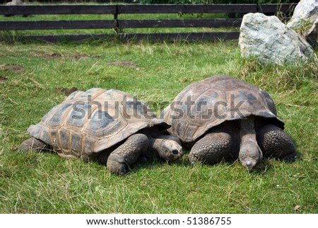 Two Aldabra Giant Tortoises in Prague zoo