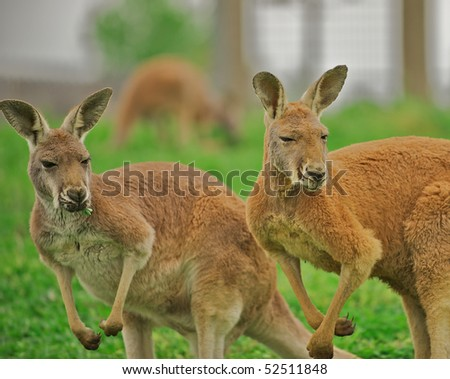 Two alert kangaroos standing on hind legs.