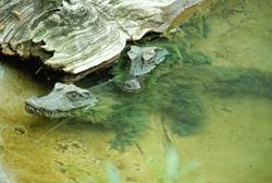 Two alligators covered in algae