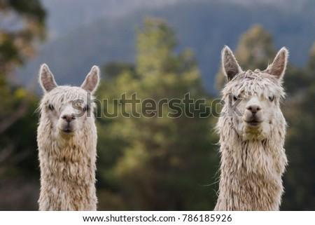 Two Alpacas looking at camera