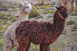 Two alpacas looking at the horizon in middle of mountain valley of Colca region, Peru. Southamerican landscape and fauna