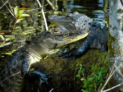 Two American Alligators sharing space on the bank.